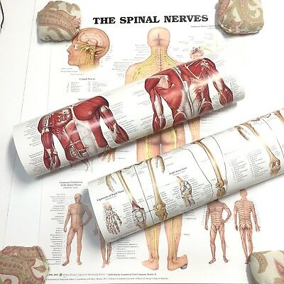 "Spinal Nerves Muscular Skeletal Anatomical Chart 3 Posters Wolters Kluwer 20""x26"