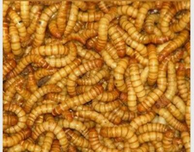 500 Count...Live Mealworms Grown on Organic bedding and scraps.