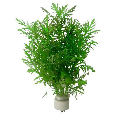 Hygrophila Difformis Bunch Water Wisteria APF Live Aquarium Plants BUY2GET1FREE*