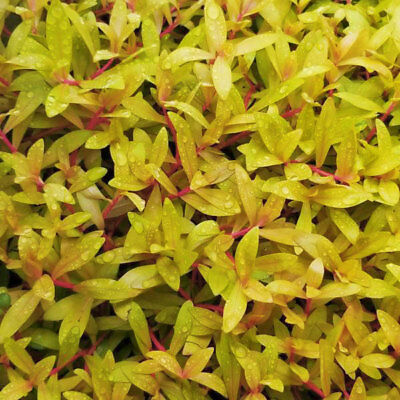 Nesaea pedicellata 'Golden' Bunch APF Aquatic Live Aquarium Plants BUY2GET1FREE*