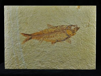 Xl 4.5 In Knightia Eocaena Fossil Fish Green River Formation Wy Eocene Age Coa