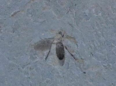 Fossil Insect March Fly Green River Formation Wyoming Eocene Age Plecia Pealei