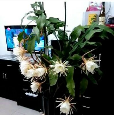 1 x Epiphyllum oxypetalum / Queen of the night / leaves with roots/10-20cm long
