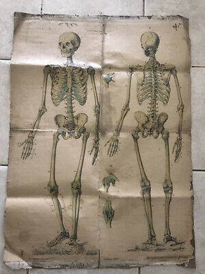 HUMAN SKELETON old poster lithograph School , Austria - Hungary 55 x 75 cm