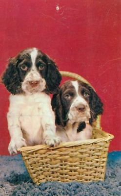 2 Springer Spaniel Puppy Dogs in Basket Postcard PC USA 1950s Little Fellers