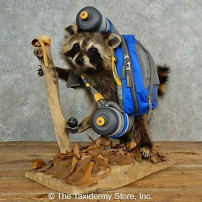 #16990 E | Novelty Raccoon Life-Size Taxidermy Mount For Sale
