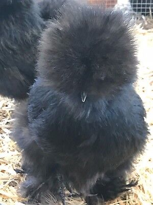 """12 Bearded Silkie Hatching Eggs Assorted Colors  """"NPIP"""""""
