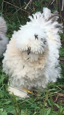 12+ - Silkie/Frizzle Satin/Showgirl Silkie Hatching Eggs NPIP