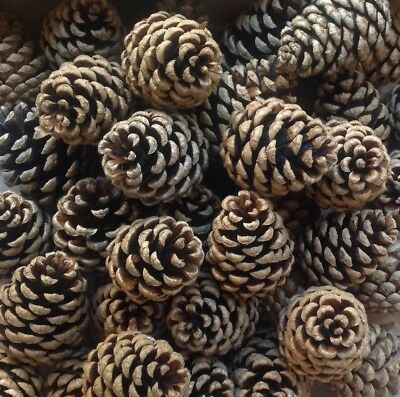 70 / c.1.5kg PINE FIR CONES, 5-7cm Crafts, Schools, Weddings, Christmas, Wreath