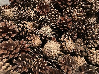 50 Scots Pine cones craft weddings wreaths florist *5 - 7 cms approx