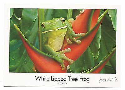 QLD - c2000s POSTCARD - WHITE LIPPED TREE FROG FOUND IN RAINFORESTS OF NORTH QLD