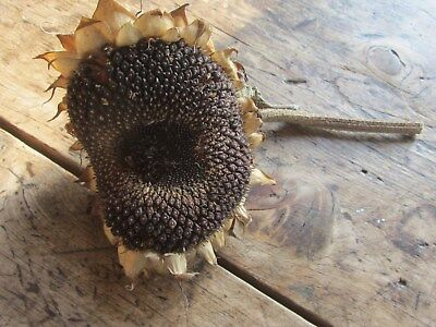 English Dried Sunflower Head with seeds - floral arrangements etc.