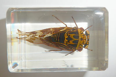 Grass Cicada Mogannia hebes in Clear Paperweight Education Insect Specimen