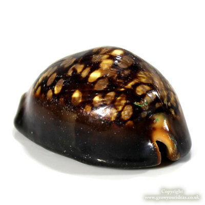 Cowrie Mauritania Humpback seashell rarely available | 7 to 8 cm