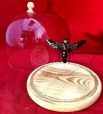 R19 xl Entomology Iridescent Scoliid Wasp Glass Dome Dsply specimen collectible