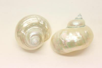 Large Turbo Borghese 9cm+ - Pearlized  sea Shells - Mother of Pearl - Natural Po