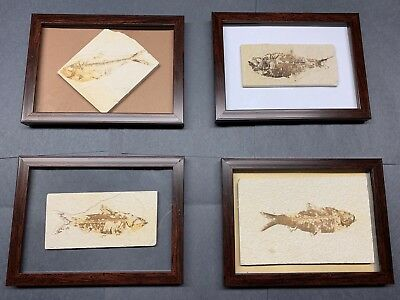 Real Fossils From Wyoming. Framed, Pick Your Own. Free 3 Day Delivery.
