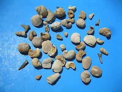 Texas Fossil Cretaceous age lot of 50 Mini Urchin, Snails, Shark teeth... # 1973