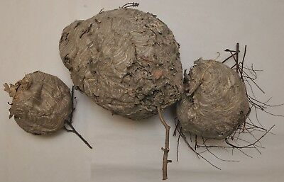 """LOT of 3 REAL PAPER HORNET WASP NESTS 12"""" X 11"""", and two smaller nests"""