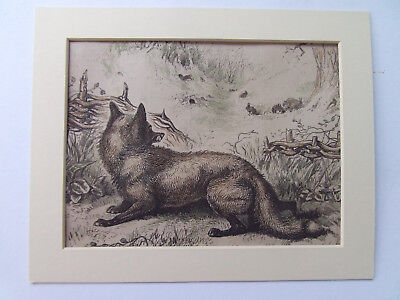 """Fox Antique Print Dated 1879 Hand Coloured Mounted 10"""" X 8"""" Ready To Frame"""