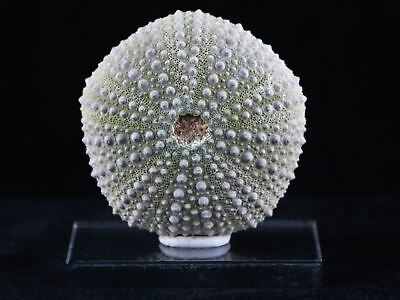 Detailed Sea Urchin Fossil Sea Biscuit Echinoids Phymosoma From Morocco 46Mm