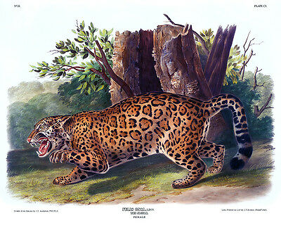 Jaguar Antique Print, John Audubon, Quadrupeds of North America Plate CI, 1846