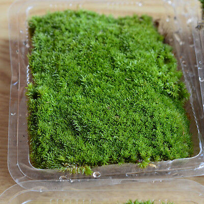 Dry Moss Micro Landscape Moss Garden Bonsai Lawn Mini Mossy Lichen Art Decor Hot