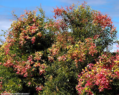 LILLY PILLY BERRY 20 SEEDS Syzygium luehmannii  free shipping