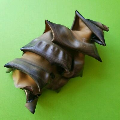 Port Jackson Shark Egg Case 5 Inches Gorgeous Specimen