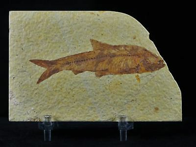 3 In Knightia Eocaena Fossil Fish Green River Wyoming Eocene Age Coa & Stand