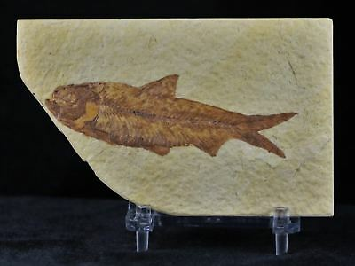 3 In Knightia Eocaena Fossil Fish Green River Wyoming Eocene Age Free Coa, Stand