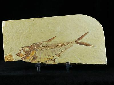 4.6 In Diplomystus Dentatus Fossil Fish Green River Wyoming Eocene Free Stand