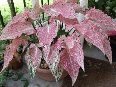 Two live bulbs of caladium Thai Beauty