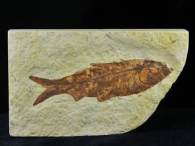 3.9 In Knightia Eocaena Fossil Fish Green River Wyoming Eocene Age Free Coa