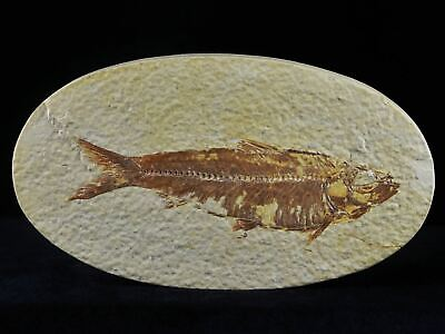 3.8 In Knightia Eocaena Fossil Fish Green River Wyoming Eocene Age Oval Free Coa