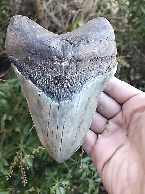 "Huge Rare 5.79"" Ashepoo River Megalodon Tooth Fossil Shark Teeth Meg"