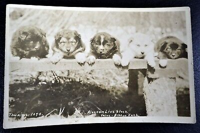 Sled Puppies Alaskan Live Stock Value $100 Each Rppc Real Photo Postcard 1934