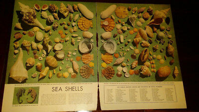 seashell chart look magazine 1948