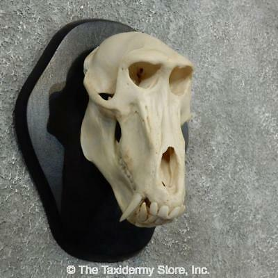 #18085 WC | Baboon Skull Replica Reproduction Mount For Sale