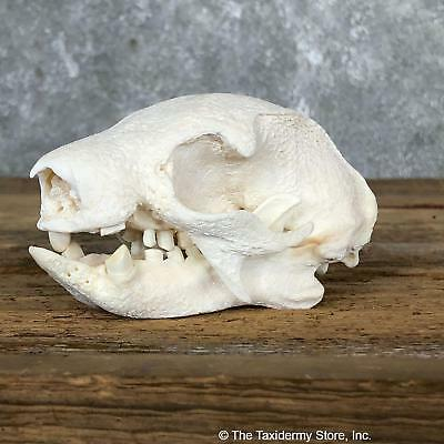 #19587 P+|Brown-throated Three-toed Sloth Skull Mount For Sale