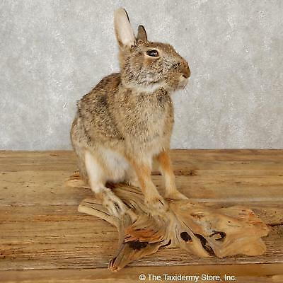 #19081 E+| Sitting Cottontail Rabbit Life Size Taxidermy Mount - Hare Snowshoe