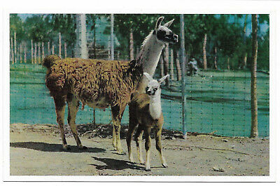 Vintage chrome postcard, Llama and young, Andes Mtns, San Diego Zoo