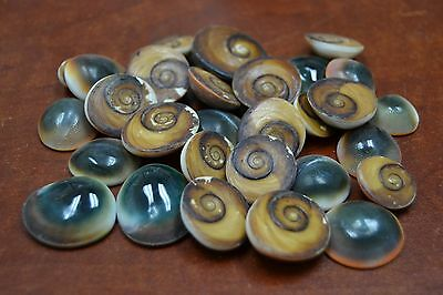 "25 Pcs Red Cat Eye Operculum Sea Shell Beach 1/2"" - 1"" #7955"