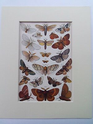 """BUTTERFLIES & MOTHS ANTIQUE PRINT WITH KEY DATED 1888 10x8"""" MOUNT READY TO FRAME"""