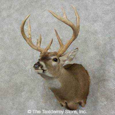 #17528 P | Whitetail Deer Taxidermy Shoulder Mount For Sale