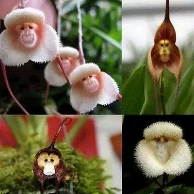 New 10pcs Monkey Face Orchid Flower Seeds Plant Seed Bonsai Home Garden SP
