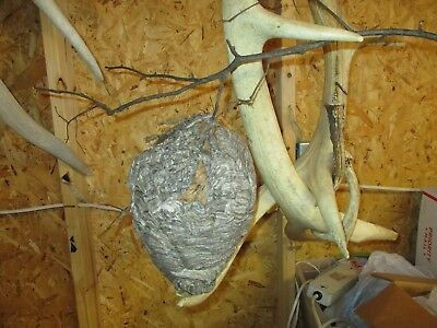 natural bees wasp hornets nest decor taxidermy gray paper on stick branch