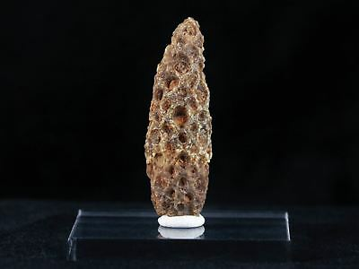 1.9 In Fossilized Pine Cone Equicalastrobus Replaced By Agate Eocene Morocco