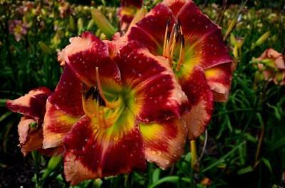 100 Daylily Seeds Heremocallis Hybrid Larry/'s Obsession God Save The queen