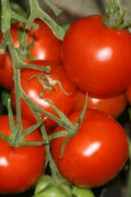 (Buy 3 Get 1 Free Offer)  Tomato Shirley F1 25 Seeds. Best Value On Ebay.